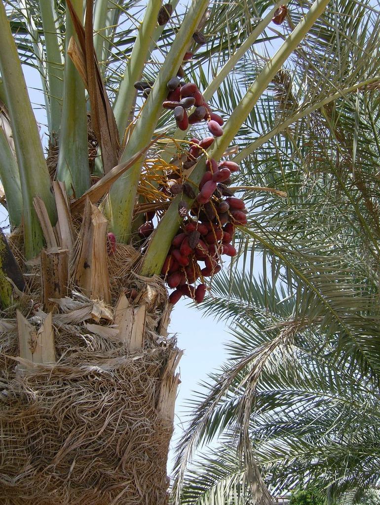 Palma dates plant, nature landscapes.