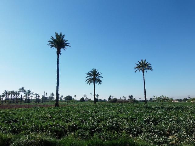 Palms field elche.