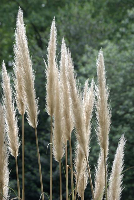 Pampas ornamental grass tall grass.