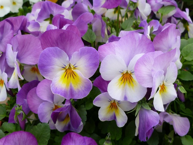 Pansies garden pansy flowers.