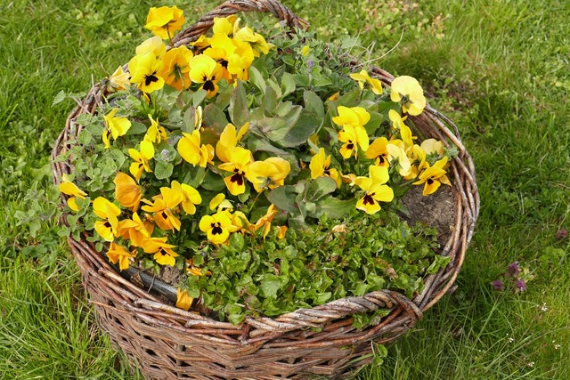 Pansy early bloomer bauer basket, nature landscapes.