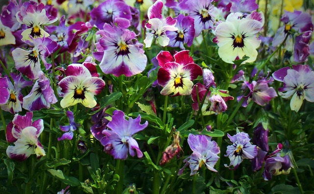 Pansy flowers plant, nature landscapes.