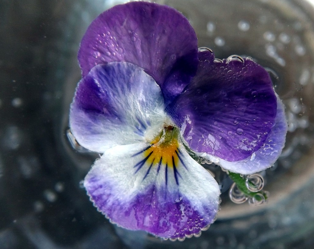 Pansy water violet.
