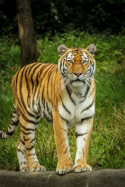 Panthera tigris altaica tiger siberian, animals.