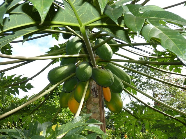 Papaya jungle south america, food drink.