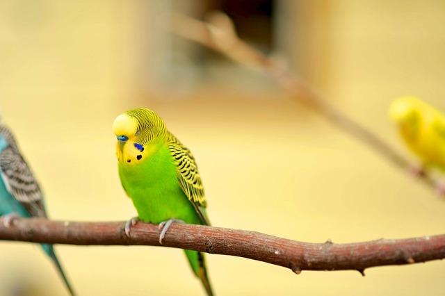 Parakeet canary bird canary.