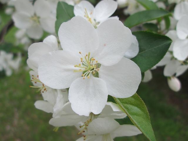 Park cherry blossom white, nature landscapes.