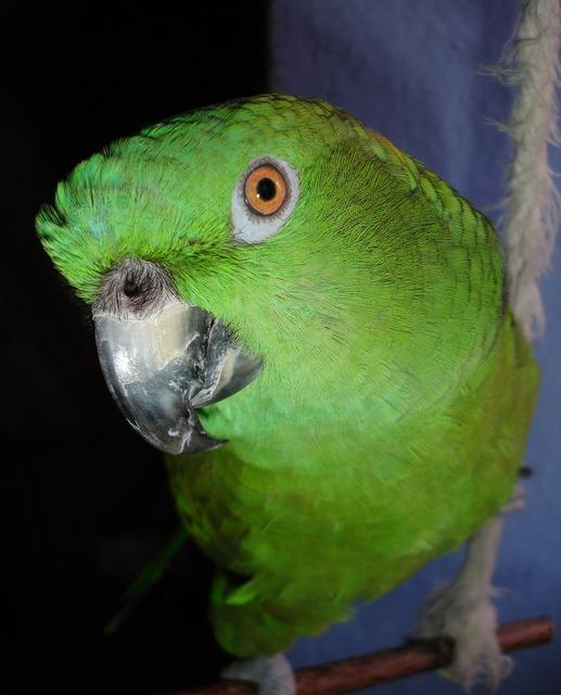 Parrot amazone yellow neck amazone, animals.