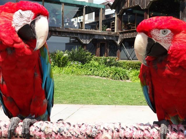 Parrots birds red, animals.
