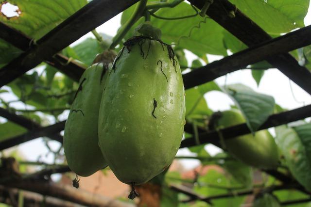 Passiflora quadrangularis fruit fresh, food drink.