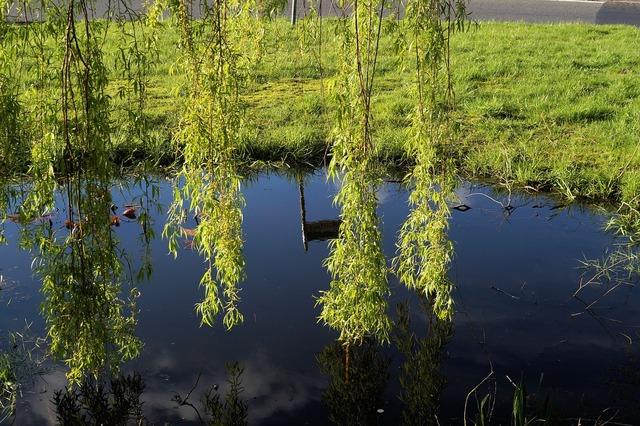 Pasture salix caprea hanging branches.