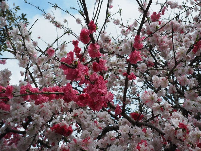 Peach blossoms red pink, nature landscapes.