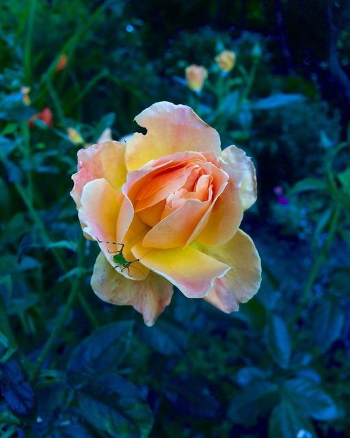 Peach rose katydid dark background.