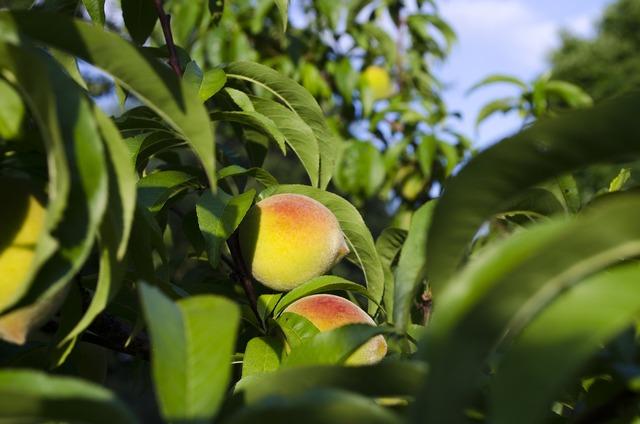 Peaches peach tree summer.