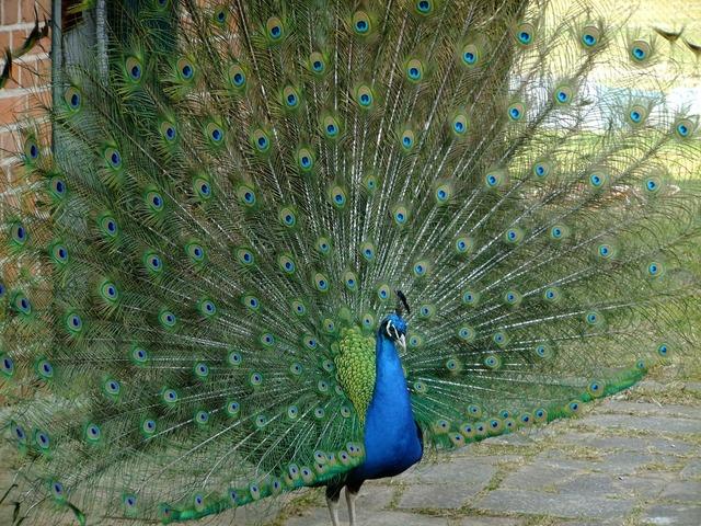 Peacock pet birds, animals.