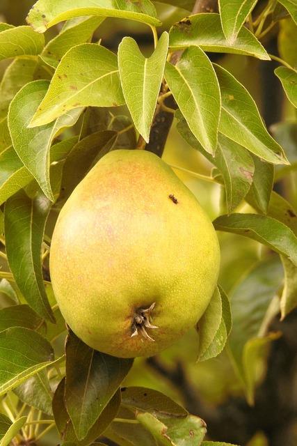Pear green branch, food drink.