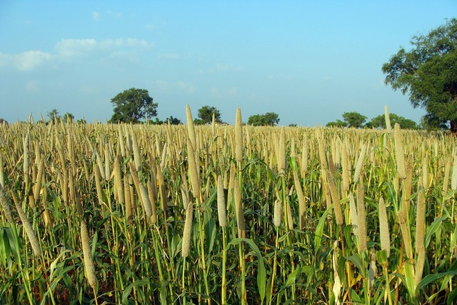Pearl millet bajra cultivation.