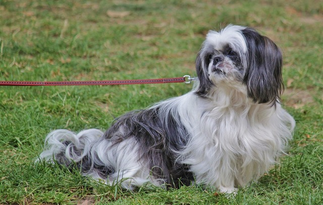 Pekinese pet dog, animals.