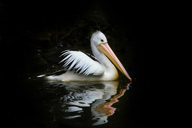Pelican bird sea birds, animals.