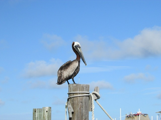 Pelican gulf coast alabama, travel vacation.