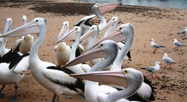 Pelicans australian pelicans water birds, travel vacation.