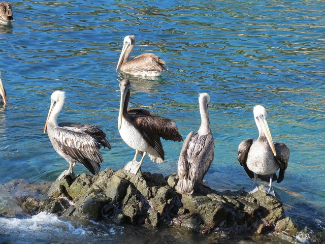 Pelicans sea rocks.