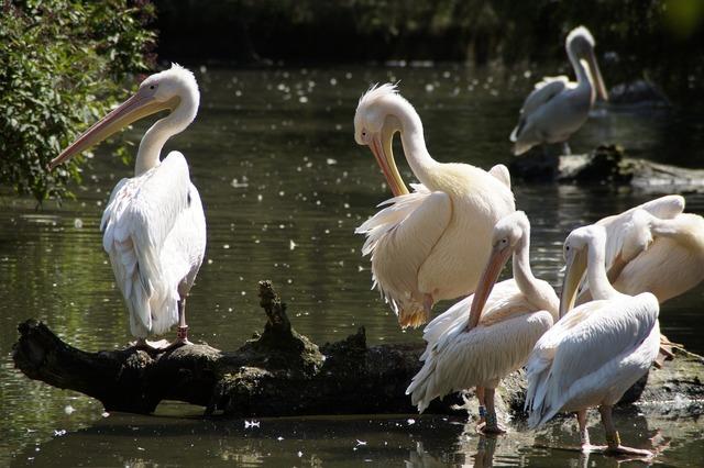 Pelicans waterfowl squat.