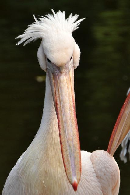 Pelikan bird sea birds, animals.