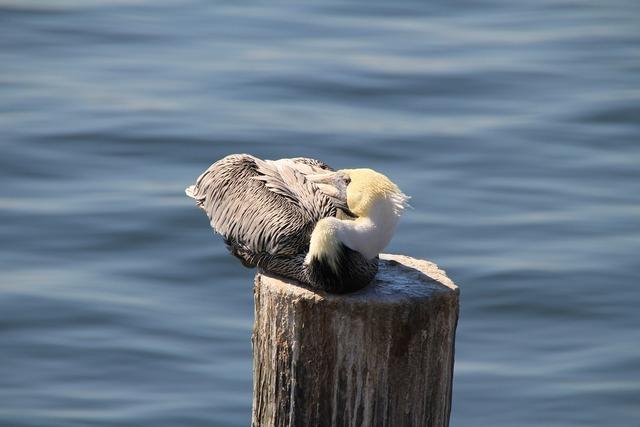 Pelikan sea water, animals.