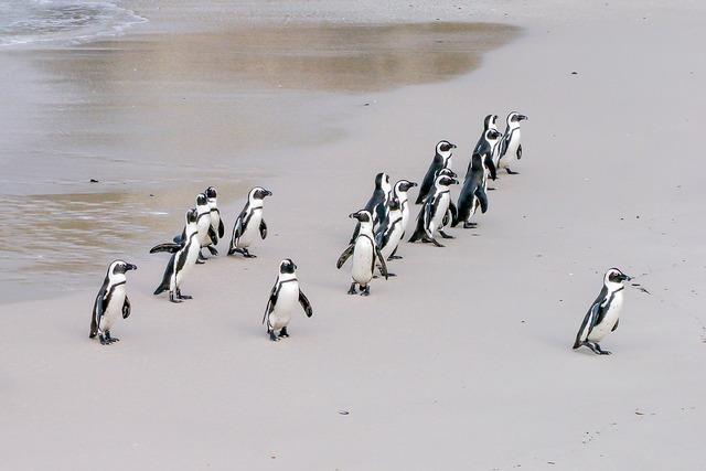 Penguin jackass leader, nature landscapes.