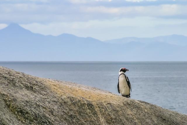 Penguin jackass lonely, nature landscapes.