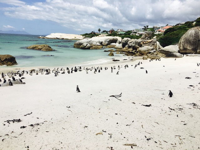 Penguins south africa booked, animals.