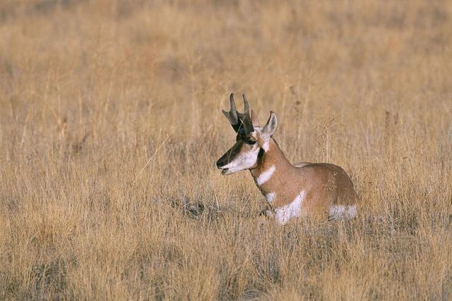 Peninsularis americana antilocapra, animals.