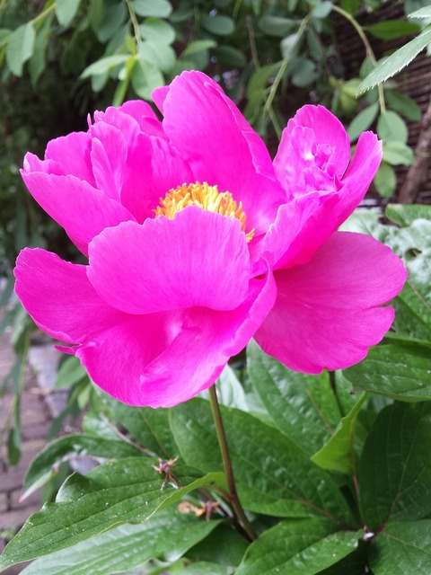 Peony plant rose flowers, nature landscapes.