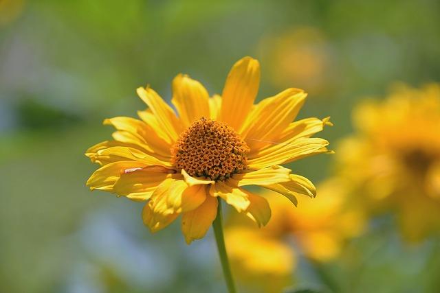Perennial sunflower composites blossom.