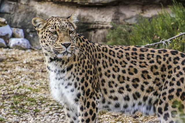 Persian leopard leopard portrait, animals.