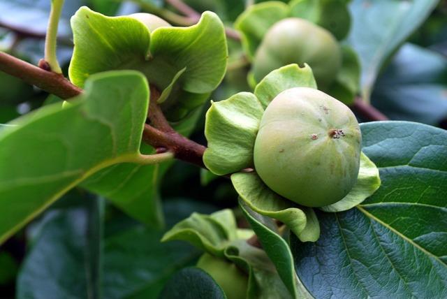 Persimmon fruit tree, food drink.