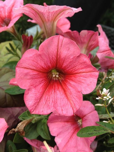 Petunia flowers floral.