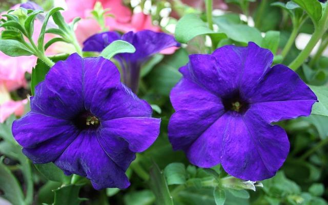 Petunias floral plants.