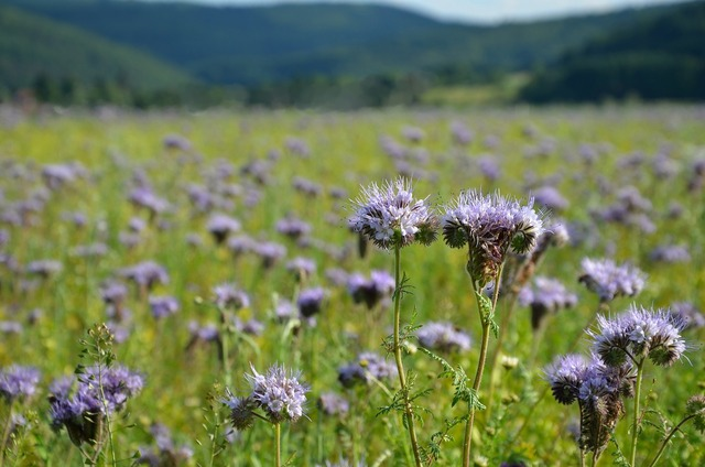 Phacelia bees field flowers, nature landscapes.