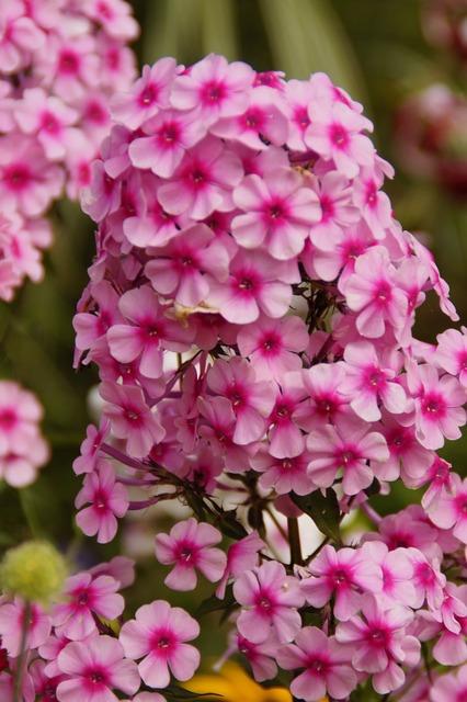 Phlox pink pink flower, nature landscapes.