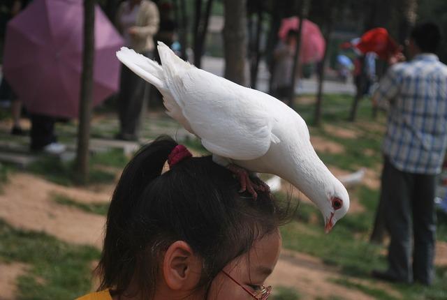 Pigeon bird white, animals.