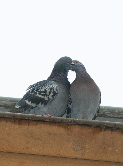Pigeon love heart, emotions.