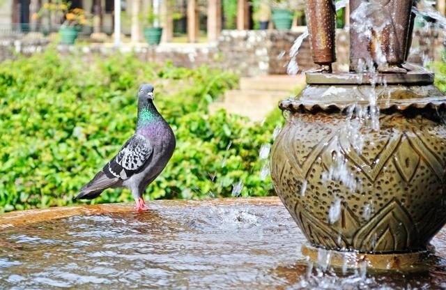 Pigeon water thirsty, animals.