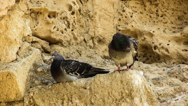 Pigeons birds resting.