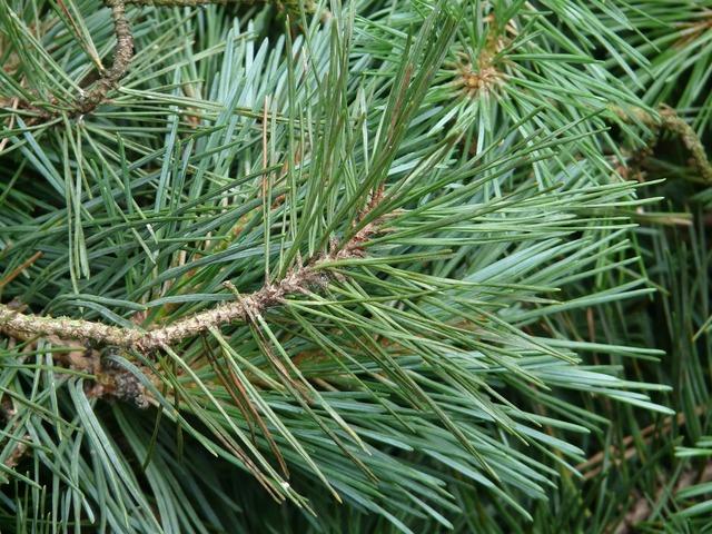 Pine branch pine needles pine.
