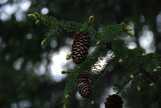 Pine cones branches green.