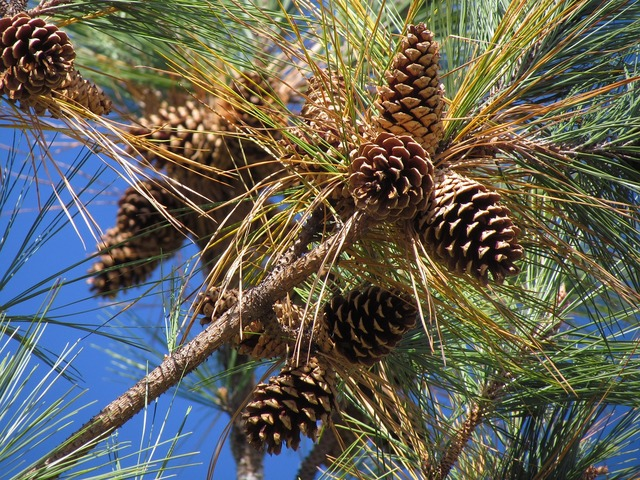 Pine cones tree evergreen.