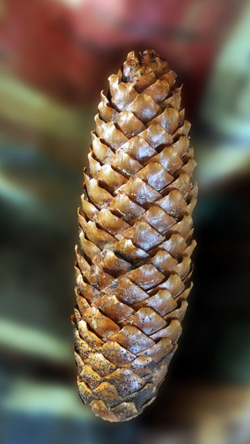 Pine cones tree fruit decoration, nature landscapes.
