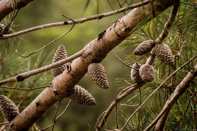 Pine cones tree nature, nature landscapes.